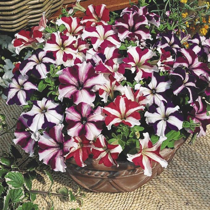 Как собрать семена петунии