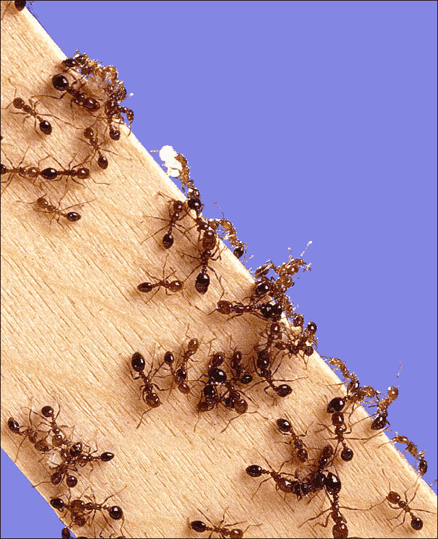 How to bring ants in the house