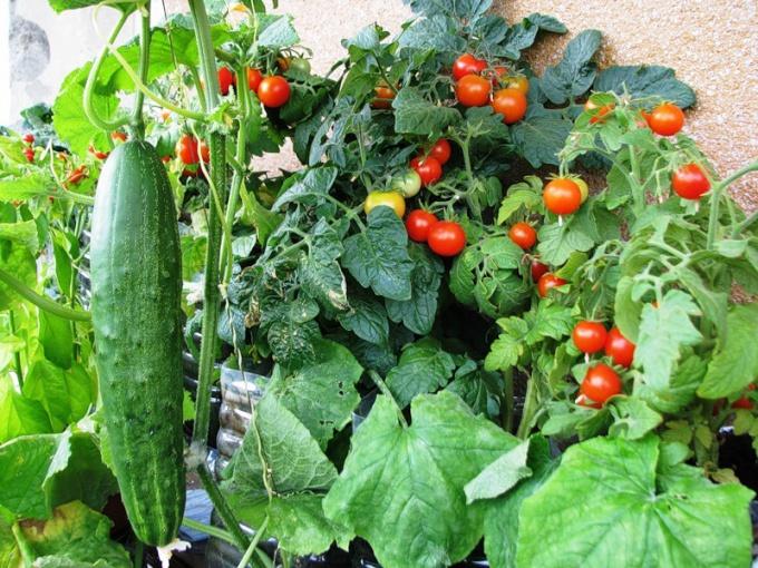 Как выращивать больше овощей