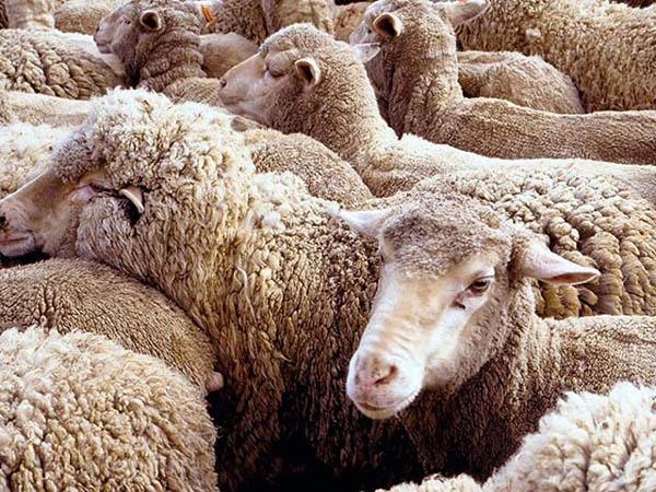 How to keep sheep