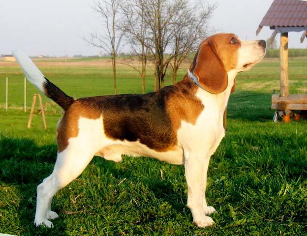 как научить собаку делать стойку для выставки