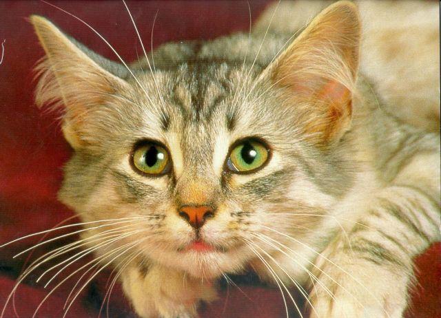 как определить лишай у кошки