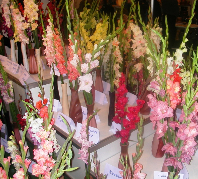 How to plant gladiolus