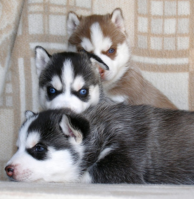 How to raise a puppy husky