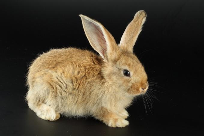 How to distinguish sex of rabbit