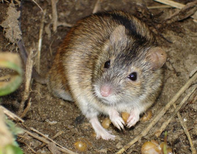 Как избавиться от мыши полевки