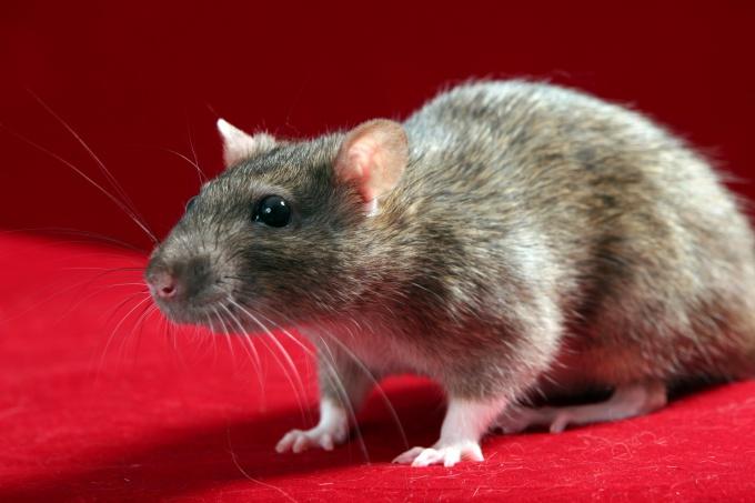 выбрать крысу