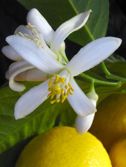 Как заставить лимон плодоносить