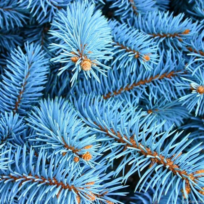 Как посадить голубую ель