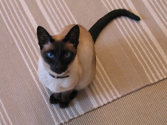 как назвать голубоглазую кошку