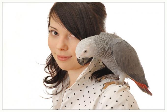 как научить попугая неразлучника разговаривать