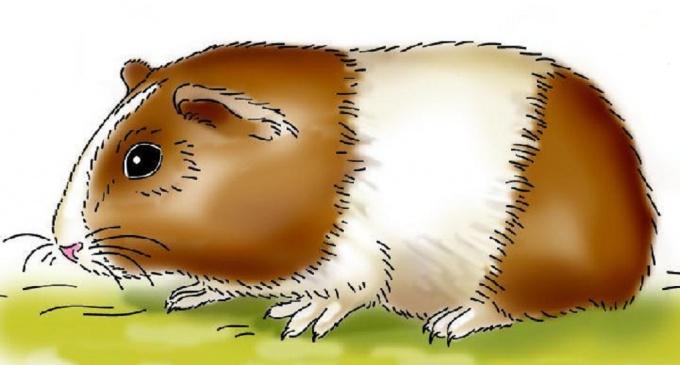 Как нарисовать морскую свинку