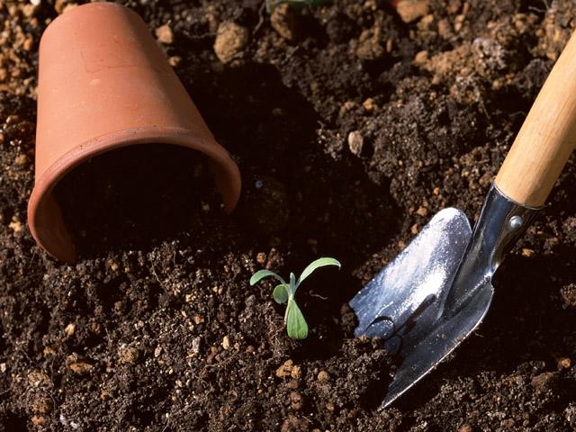 Как пикировать рассаду томатов