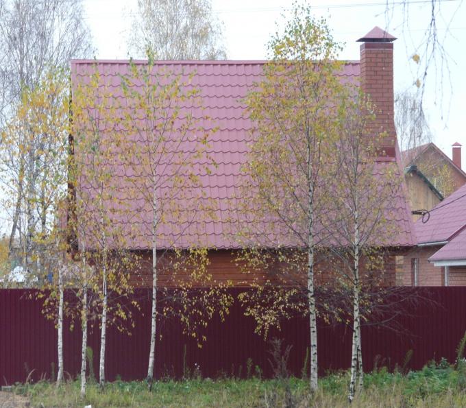How to grow a birch tree