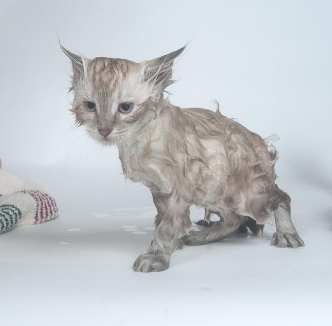 как вымыть кошку