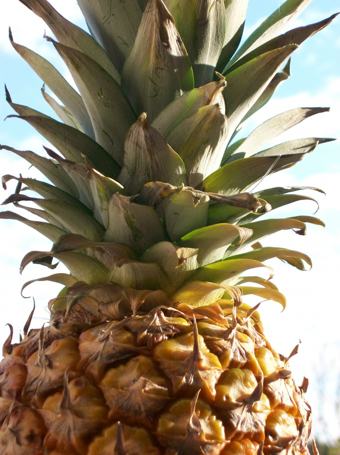 How to plant a pineapple top
