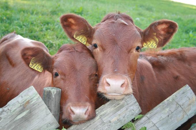 Как разводить коров
