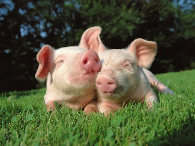 как выкормить поросят без свиноматки