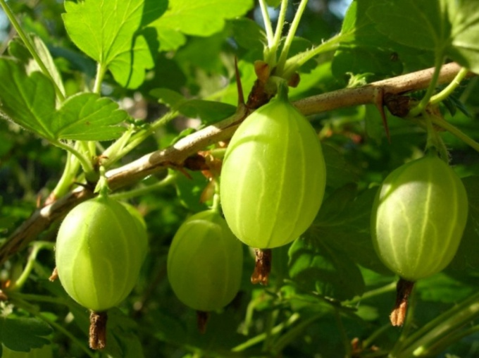 How to cook the Royal gooseberry jam