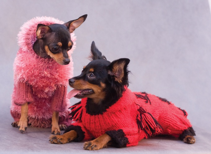 How to knit clothes for toy Terrier