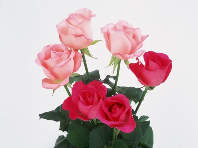 Как обрезать комнатные розы
