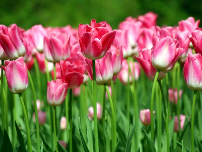 Как вырастить тюльпаны в теплице