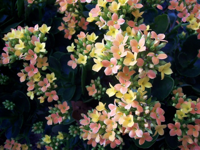 How to repot Kalanchoe