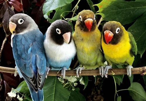 отличие попугаев неразлучников девочки от мальчика