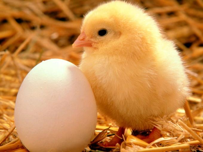 как различить петушков от курочек в 1 месяц
