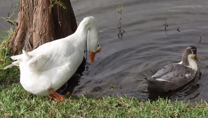 Как отличить утку от гуся