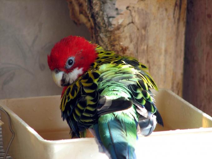 как сделать ванну для попугая