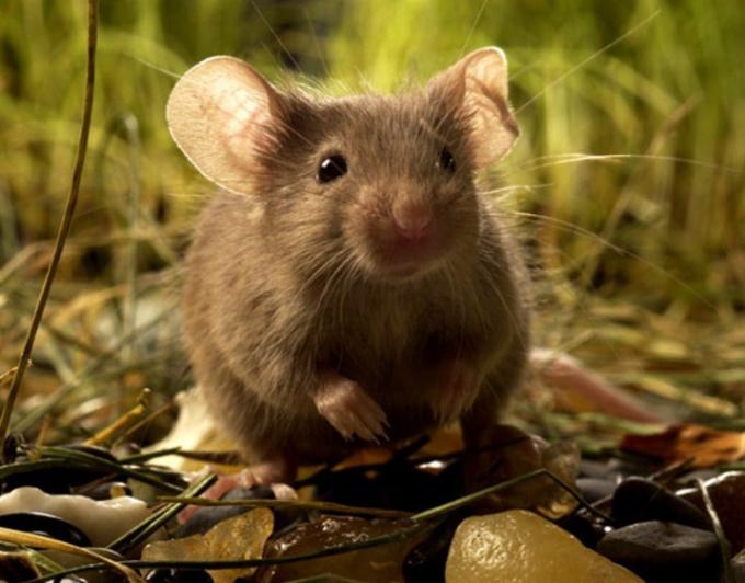 определить пол мыши