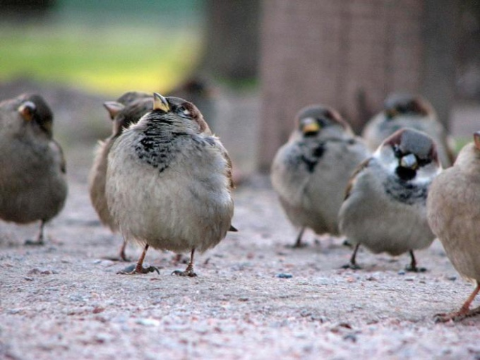 How to get rid of sparrows in the area
