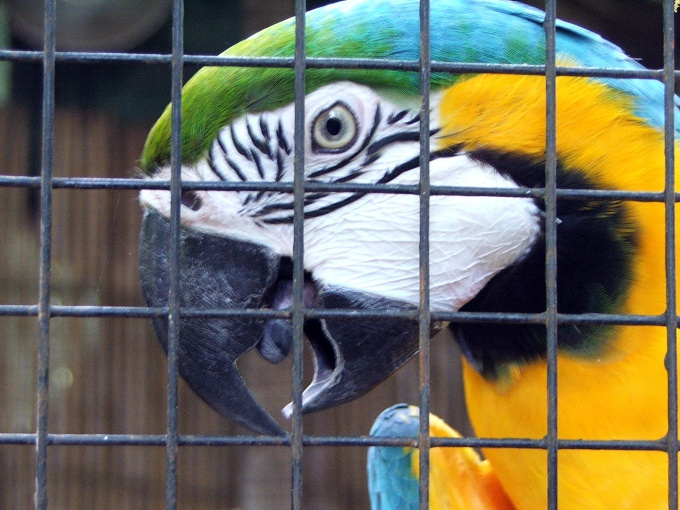 Как лечить простуду у попугая