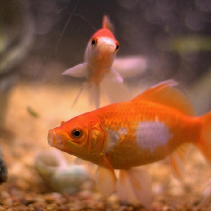 как отлечить пол у золотых рыбок