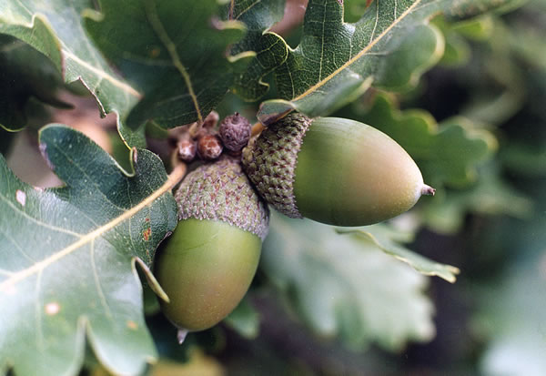 How to plant an acorn