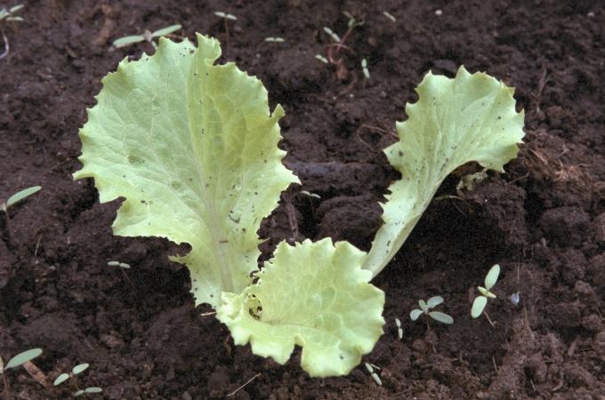Как посадить салат