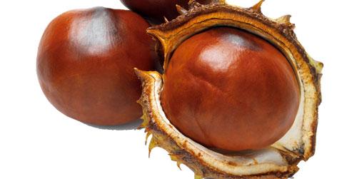 Как вырастить каштан из плода
