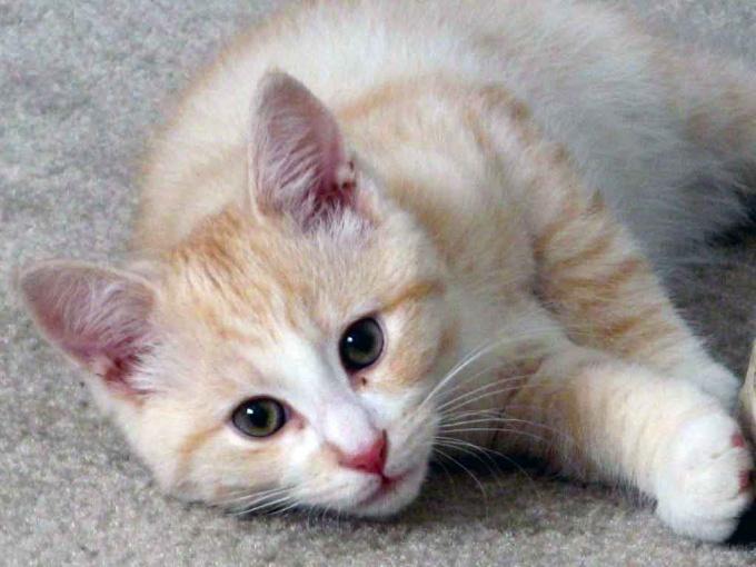 как удалить кошачью мочу с ковра