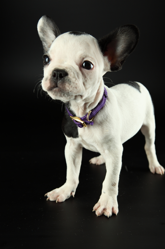 Как узнать породу щенка