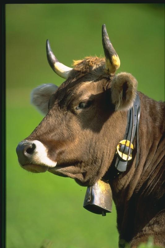 Как назвать быка