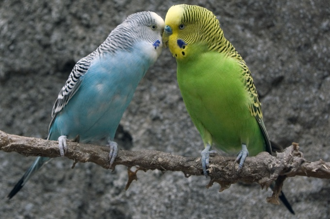 How to breed budgies