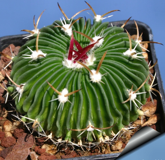 Как определить вид кактуса