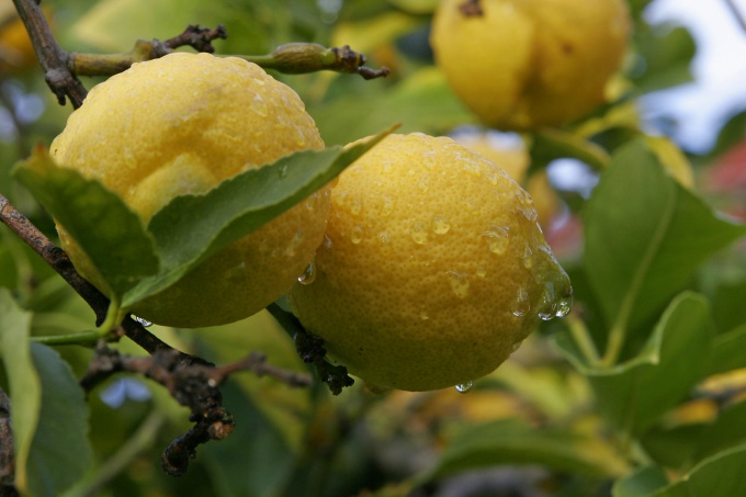 How to plant a stalk of lemon