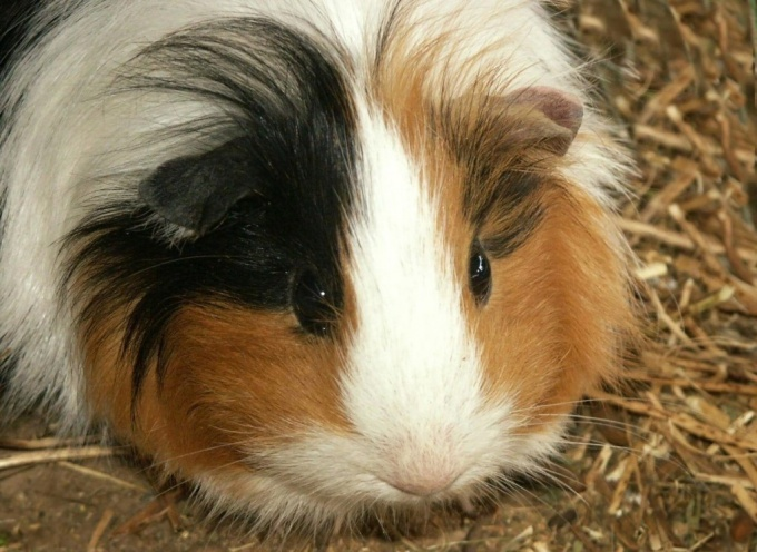 How to determine the age of a Guinea pig