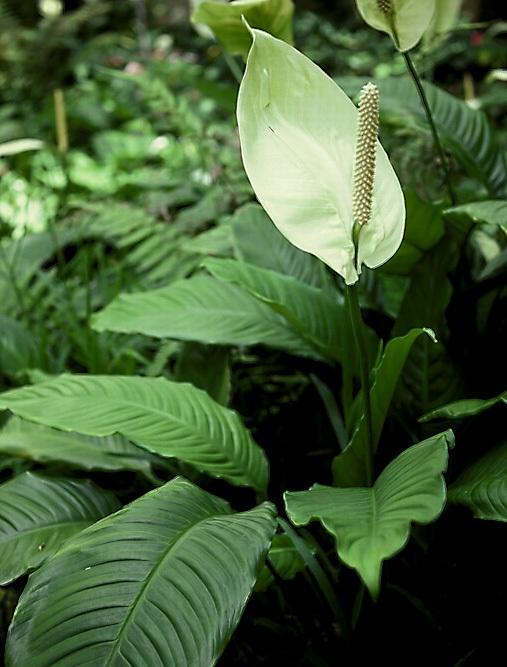 Как заставить спатифиллум цвести
