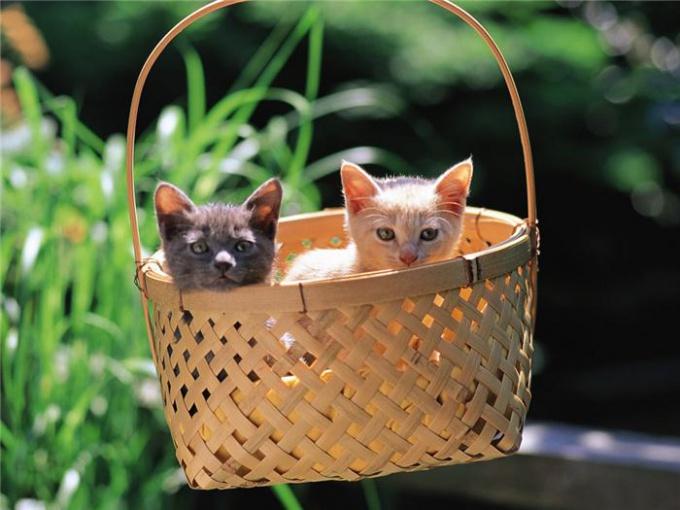 как можно узнать какого окраса будут котята