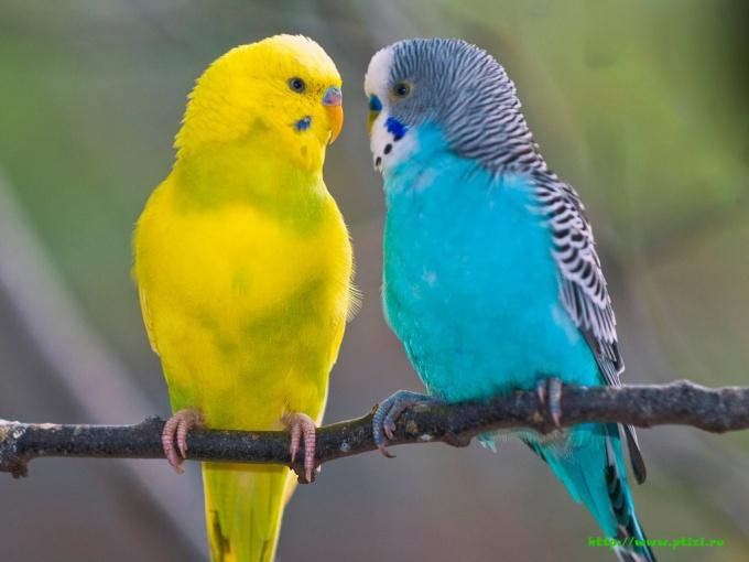 сколько лет попугаю