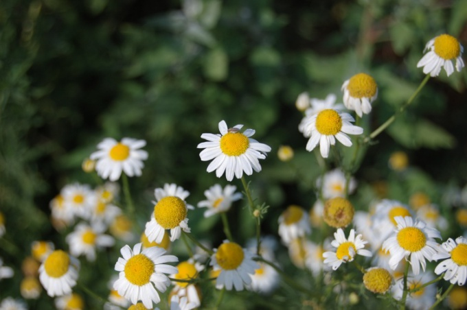 How to prepare chamomile tea