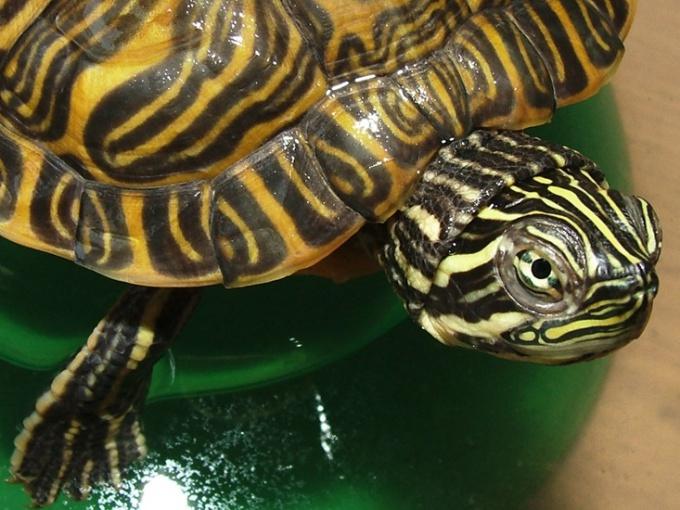 Как обустроить аквариум для черепахи